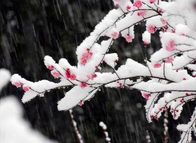 ดอกเหมยหรือดอกบ๊วยบานในฤดูหนาว